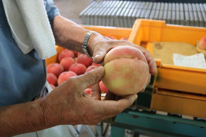 いい桃の見分け方について説明している写真