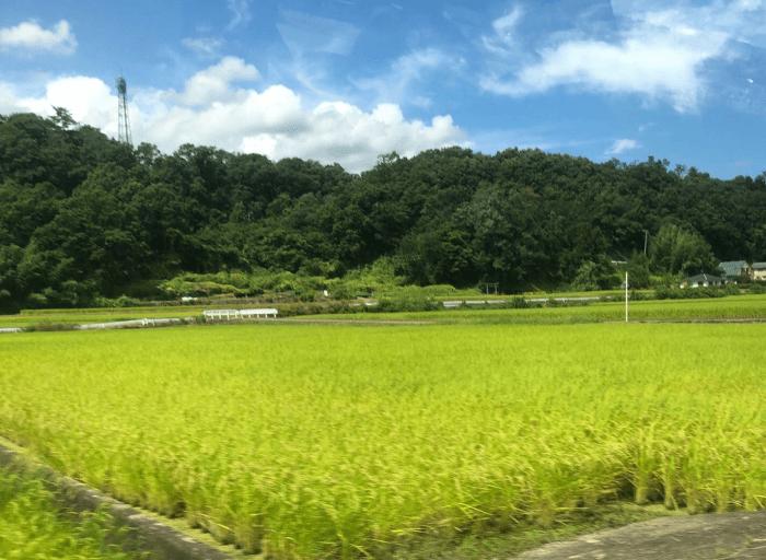 農道の稲穂の写真