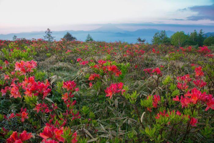甘利山のレンゲツツジの写真