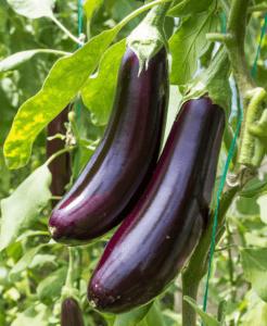 紫色のナスの写真